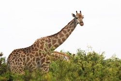 Two giraffes between the bush with white background looking at the camera in Kruger National Park, South Africa.