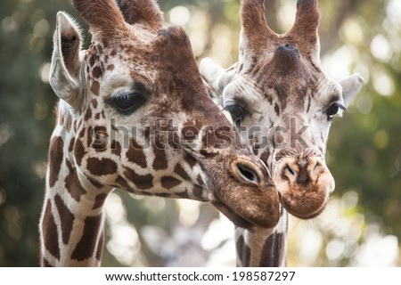 Two giraffes close up  #198587297