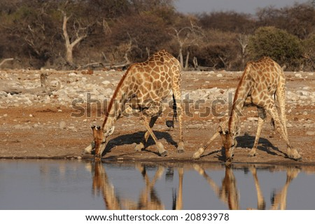 Two Giraffes drinking at the waterhole in the Etosha National Park, Namibia