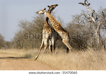 Two giraffes fighting in Kruger National Park South Africa