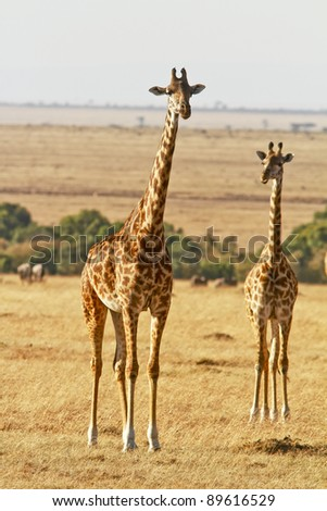 Two giraffes (Giraffa camelopardalis) on the Maasai Mara National Reserve safari in southwestern Kenya.