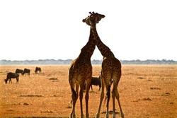 Two giraffes hug each other romantic moment love in Africa savanna Kenya