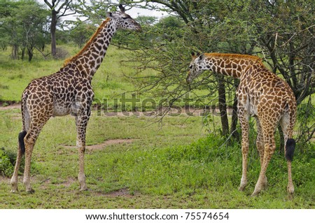 Two Giraffes in Serengeti National Park, Tanzania