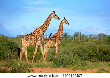 Two giraffes near the forest, Drakensberg Mountains in the background . Green vegetation with big animals. Wildlife scene from nature. Evening light Tshukudu, South Africa. #1109192507