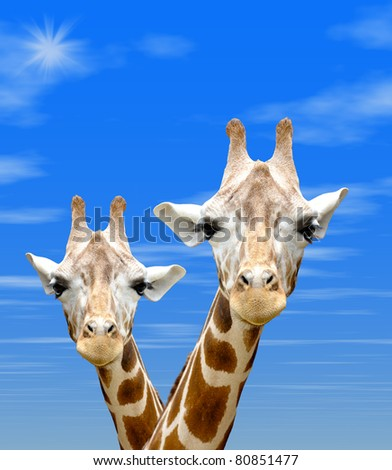 Two Giraffes necks against blue sky background and brilliant sun