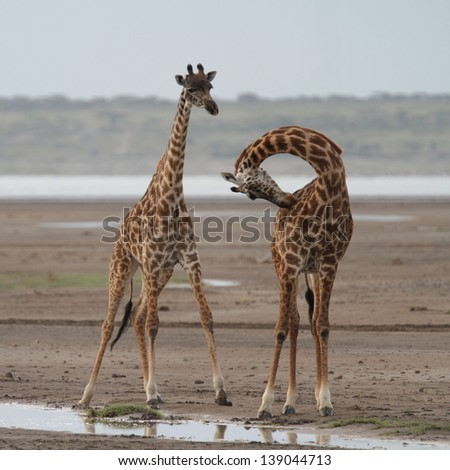 Two giraffes, one of them with neck bent