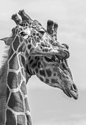 Two giraffes rubbing heads together