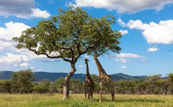 Two giraffes under a tree in natural habitat, national park africa