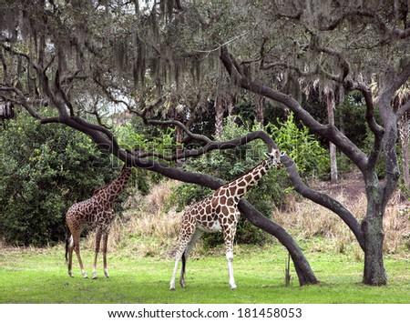 Two giraffes walking in animal kingdom park #181458053