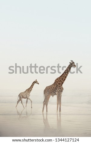 Two giraffes walking on a beach with calm water and fog. A baby giraffe and adult giraffe standing in the water. Wild animals, nature. #1344127124