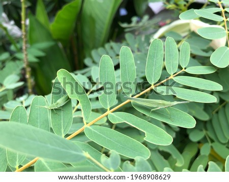 """Two Glasshopper, Atractomorpha genus, Possibly Atractomorpha lata, Onbubata(""""Piggyback"""" Grasshopper) and Locust green and brown line on body stay on Cork Wood Tree leaf. Green leaves blur background Zdjęcia stock ©"""