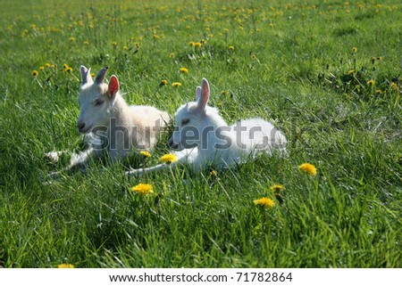 two goat calves are resting in the sunlight on the green field with yellow dandelions