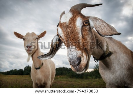 Two goats look at the camera