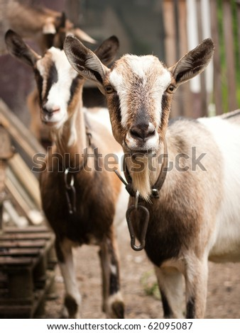 Two goats looking at the camera