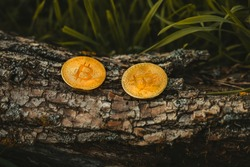 Two gold and shiny coins of bitcoin (cryptocurrency) on the wooden background in forest. BTC coins in nature.