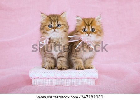 Two Golden Chinchilla Persian kittens wearing pink ribbon bows sitting on pink gift box on pink background