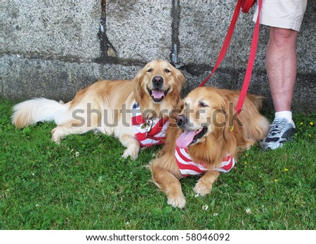 two golden retriever dogs with patriotic scarves