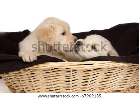 two golden retriever puppies are cuddling eachother isolated on white