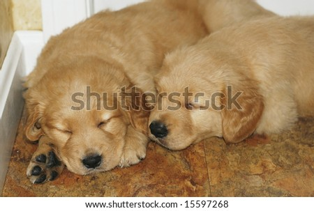 pictures of puppies sleeping. stock photo : two golden retriever puppies sleeping