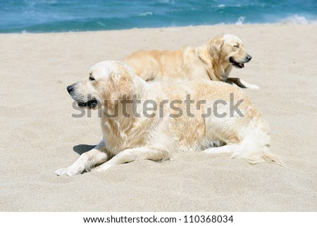 two golden retriever resting on the beach