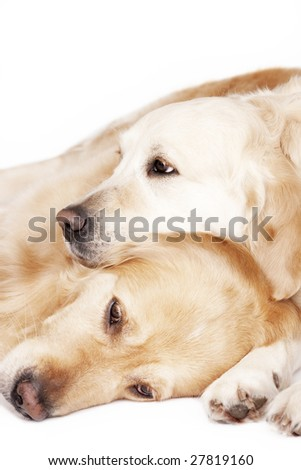 Two Golden Retrievers isolated on white