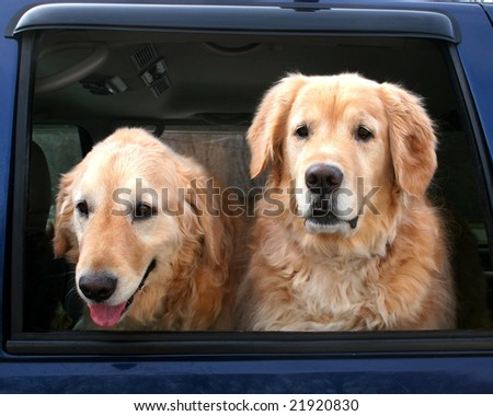 two golden retrievers looking out truck window