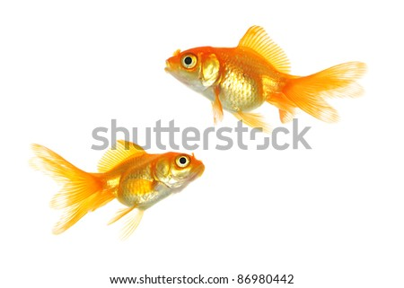 Two goldfish isolated on white