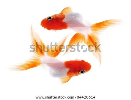 Two Goldfish on White Background. Isolated. Without shade.
