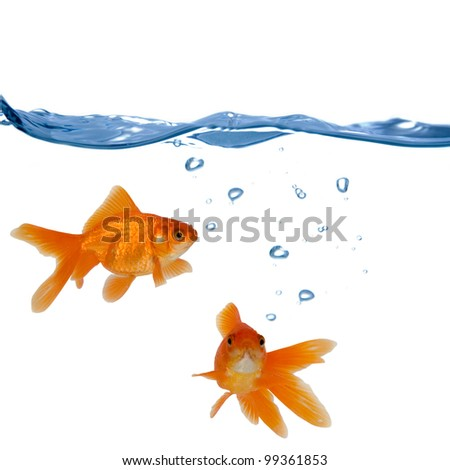 Two goldfish swim in the water  isolated on white background