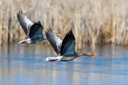Two goose flying bird in the nature habitat, action scene with open wings. Bird in fly, lake with grass in the background
