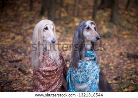 Two gorgeous Afghan hounds in beautiful shawls against the background of the forest, women of fashion, beauty. Concept clothes, fashion for dogs #1321318544
