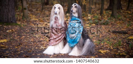 Two gorgeous Afghan hounds in beautiful shawls against the background of the forest, women of fashion, beauty. Concept clothes, fashion for dogs #1407540632