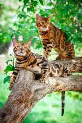 Two gorgeous marbled green-eyed Bengal cats lie on a lilac tree trunk surrounded by green foliage on a hot summer day