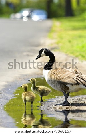 Two goslings with an adult goose in a puddle with focus on front gosling