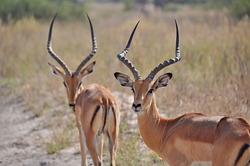 Two graceful impala males antelope in real habitat, Kruger National Park in South Africa