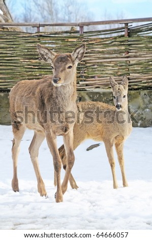 two graceful roe stay on snow
