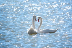 Two Graceful white Swans swimming in the lake, swans in the wild. The mute swan, latin name Cygnus olor.