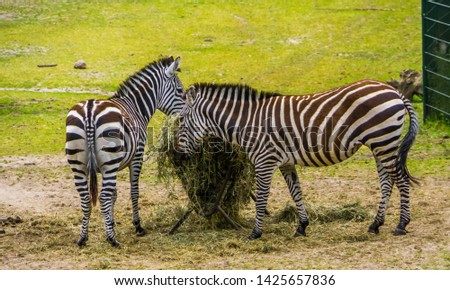 two grant's zebras eating hay from the crib, animal feeding, near threatened mammal species from the plains of Africa #1425657836