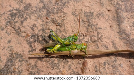 Two grasshoppers having Sexual intercoursed on  borwn rock #1372056689