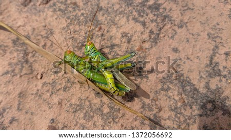 Two grasshoppers having Sexual intercoursed on  borwn rock #1372056692