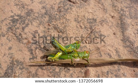 Two grasshoppers having Sexual intercoursed on  borwn rock #1372056698