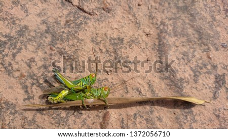 Two grasshoppers having Sexual intercoursed on  borwn rock #1372056710