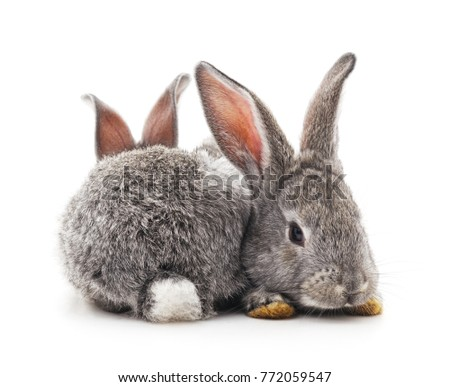Two gray rabbits isolated on a white background.