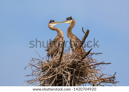 Two Great Blue Heron Chicks In A Beak To Beak Face Off In The Nest