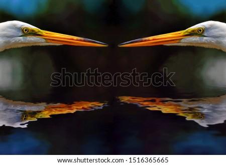 Two Great Egrets meet beak-to-beak, reflected in glassy water.