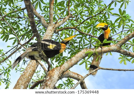 Two Great hornbilll on the  tree