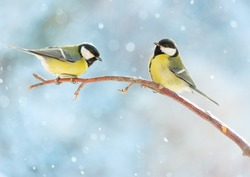 Two great tits on a branch on a sunny winter snowy day. Birds in winter are sitting on a branch. New Year card.