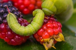 Two green caterpillars with berries on a leaf. Fragment of an insect. Blackberries and raspberries. Macro photo. Large and small Caterpillars are crawling. Fragment of a green leaf. Close-up. Bokeh