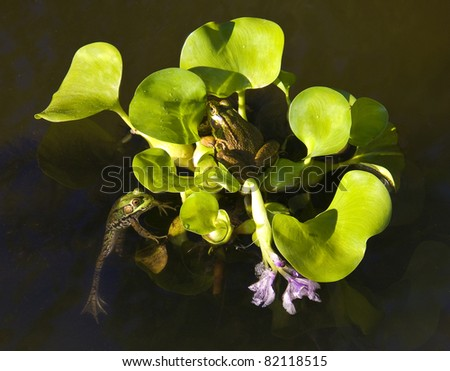 Two Green Frogs on water plant