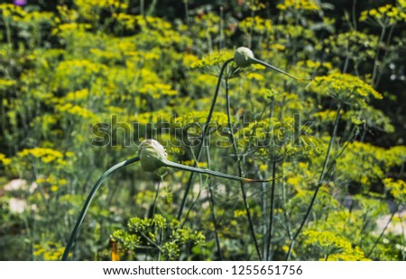 Two green garlic flowers on a blurred yellow and green background of dill flowers in a garden in summer #1255651756
